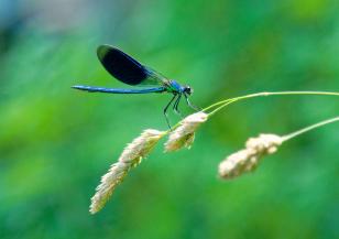 dragonfly on wheatgrass stem