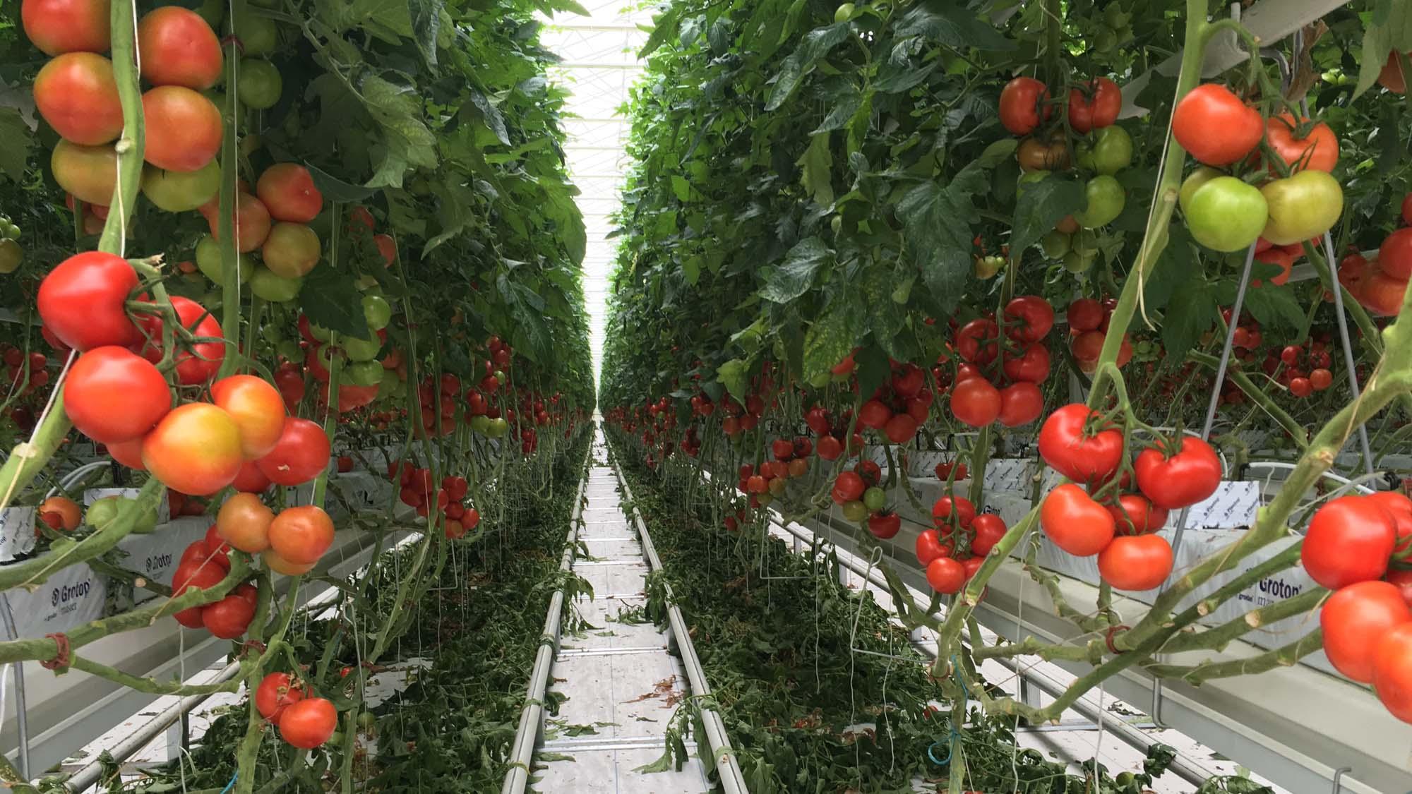 Econotre Serre tomates