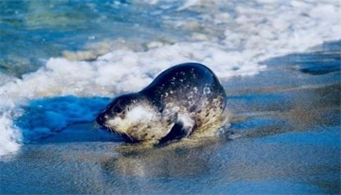 perserving biodiversity Spotted seal