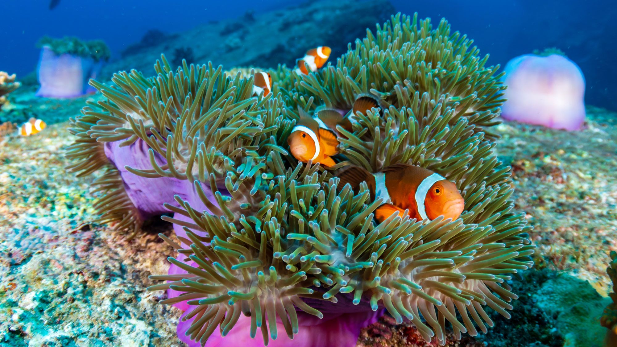 Family of cute Clownfish colorful anemone