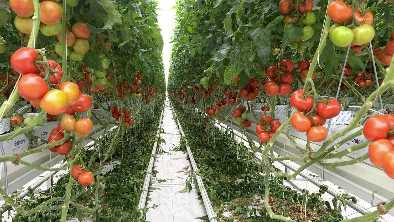 Greenhouses tomato