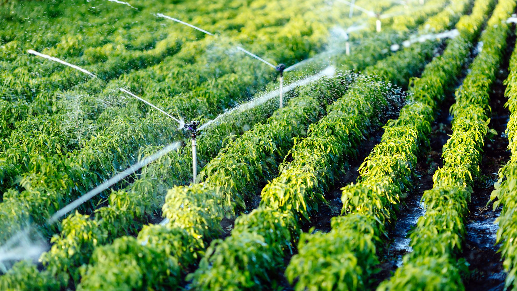 Watering agricultural plants
