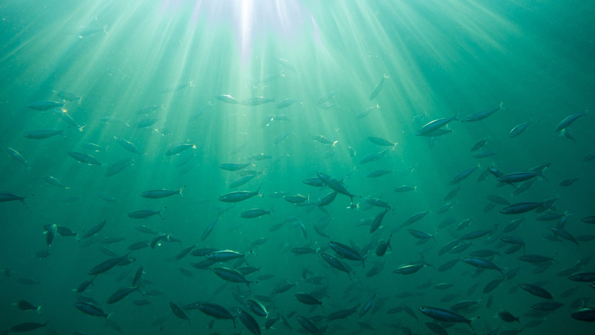 sea light fishes