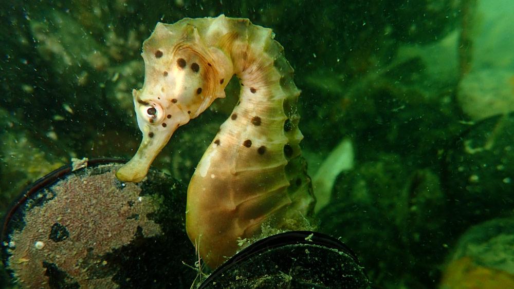 Mussel Reef Seahorse