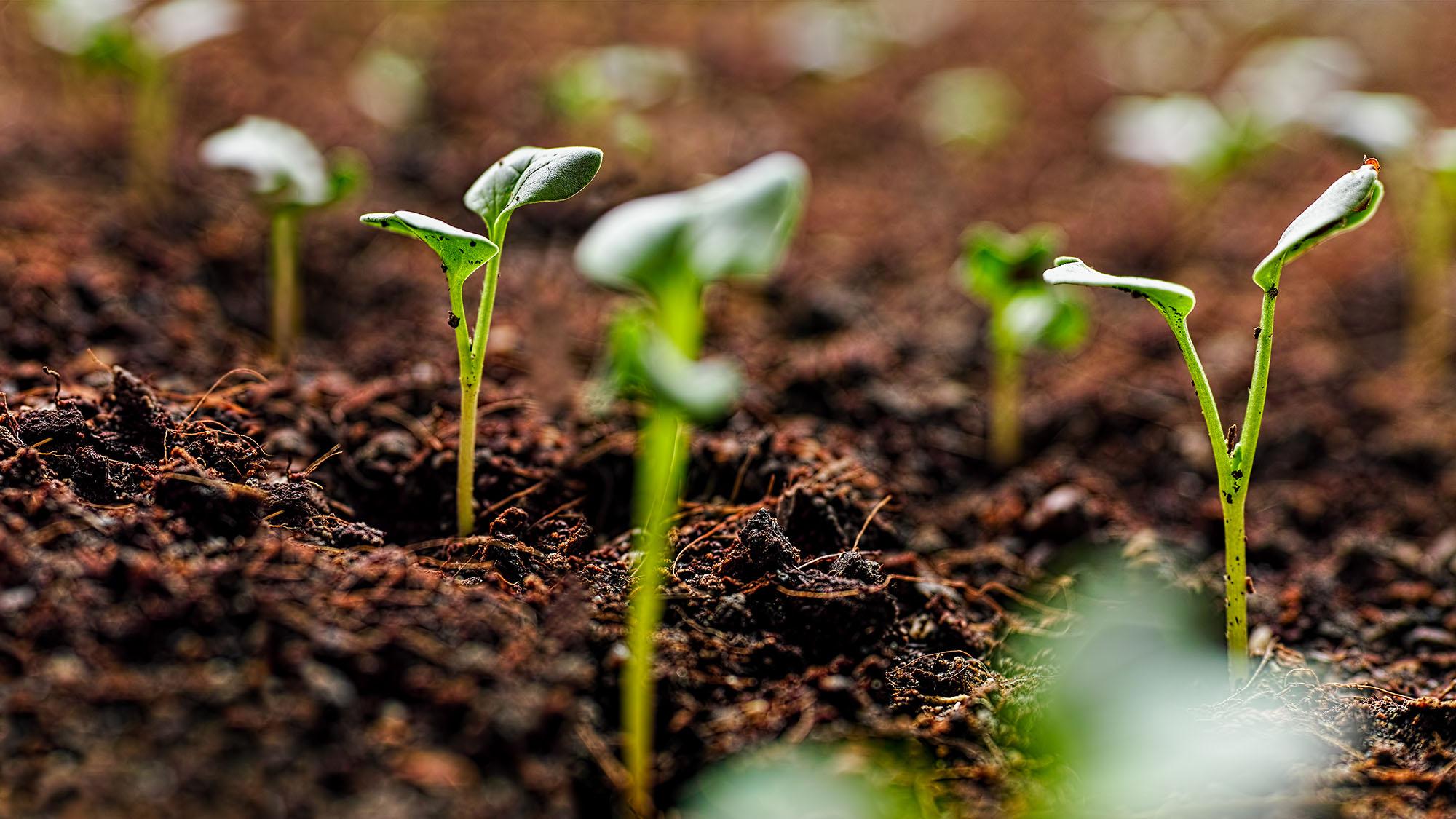 Seedlings in compost