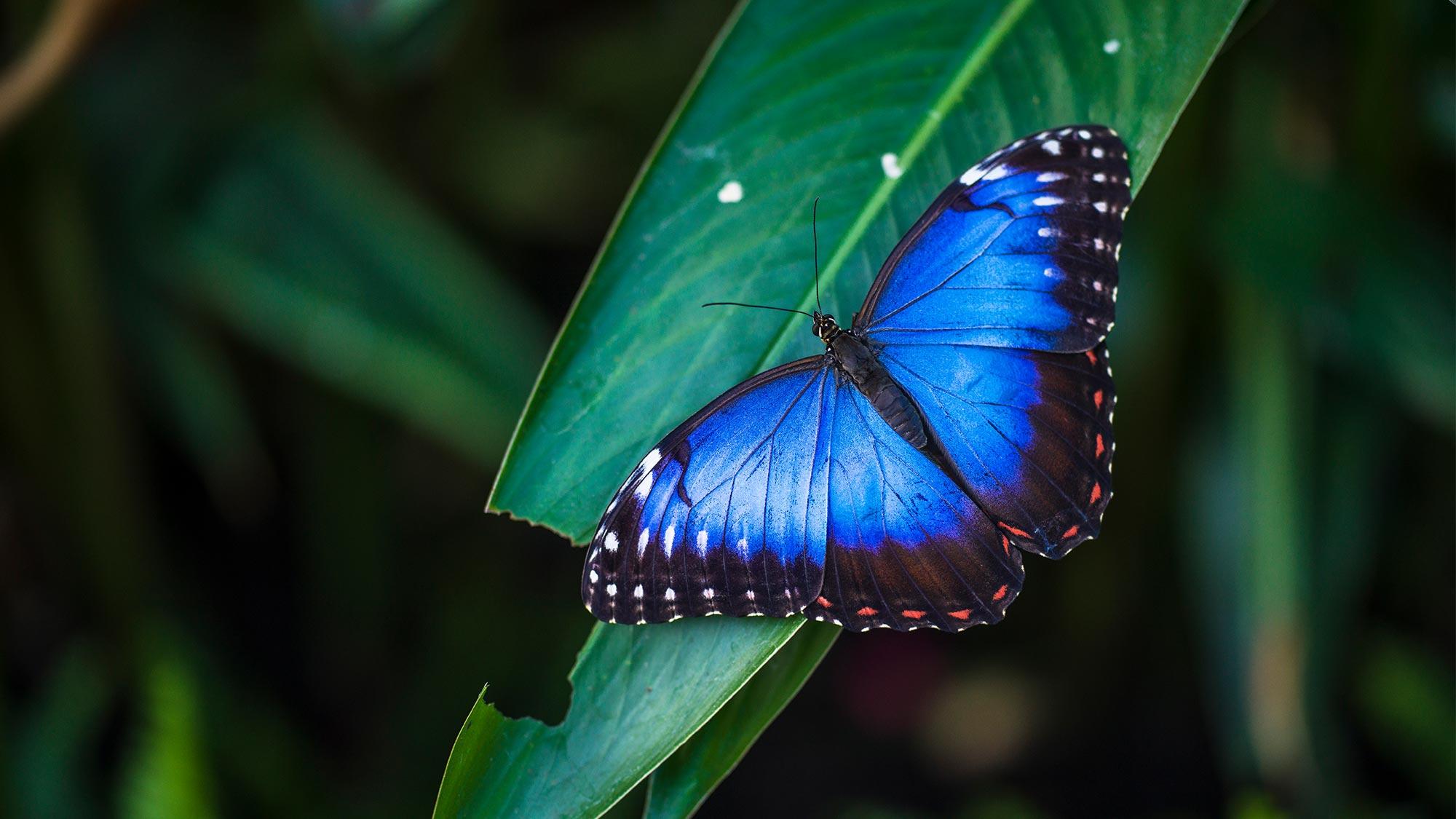 Butterfly 1090168058 UK CW